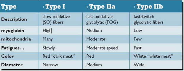 Muscle_Fiber_Types