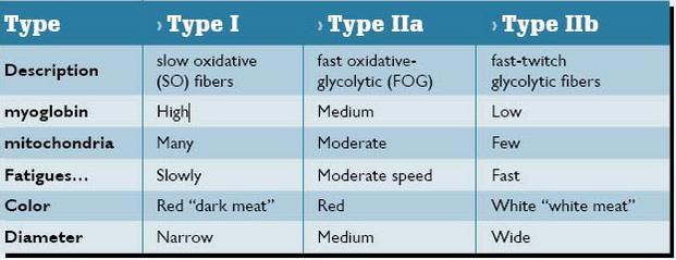 Muscle_Fiber_Types