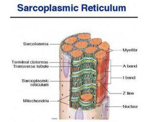 Sarcoplasmic_Reticulum_Pic
