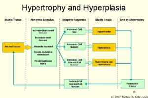 Hard Training and Hormones or synthetic hormones cause both hypertrophy and hyperplasia, through different methods