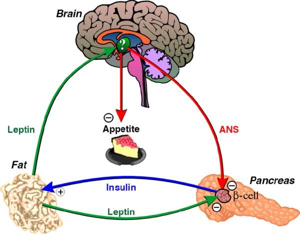 stoffwechsel hormon leptin