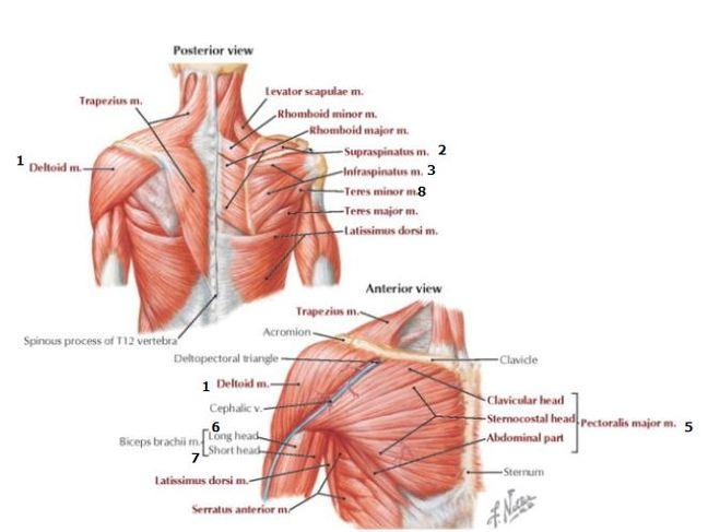 Best Shoulder Workout – Todd Lee M.D.