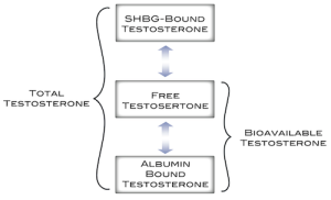 Clearly a decrease in SHBG results in a Higher Free testosterone and bioavailable testosterone, seemingly a good thing.
